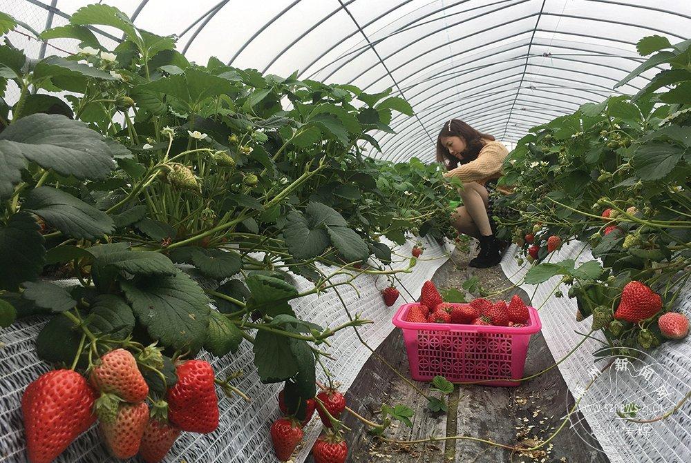 农科所草莓可采摘了