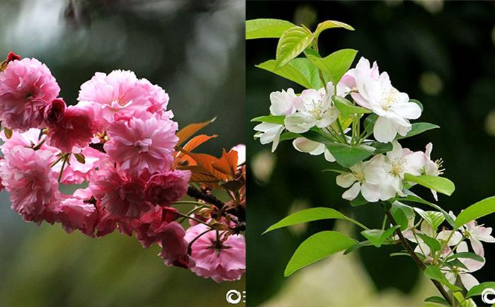 【行行摄摄】海棠花晚樱花