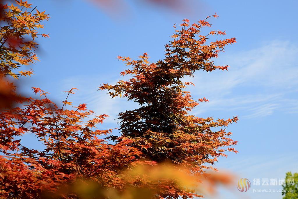 春天里的小红枫