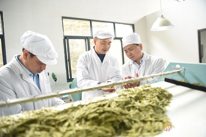 黄茶文化节如约而至