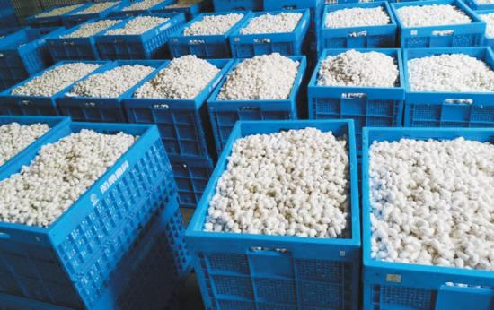 绍兴工厂化养蚕 首批鲜茧成功走向市场