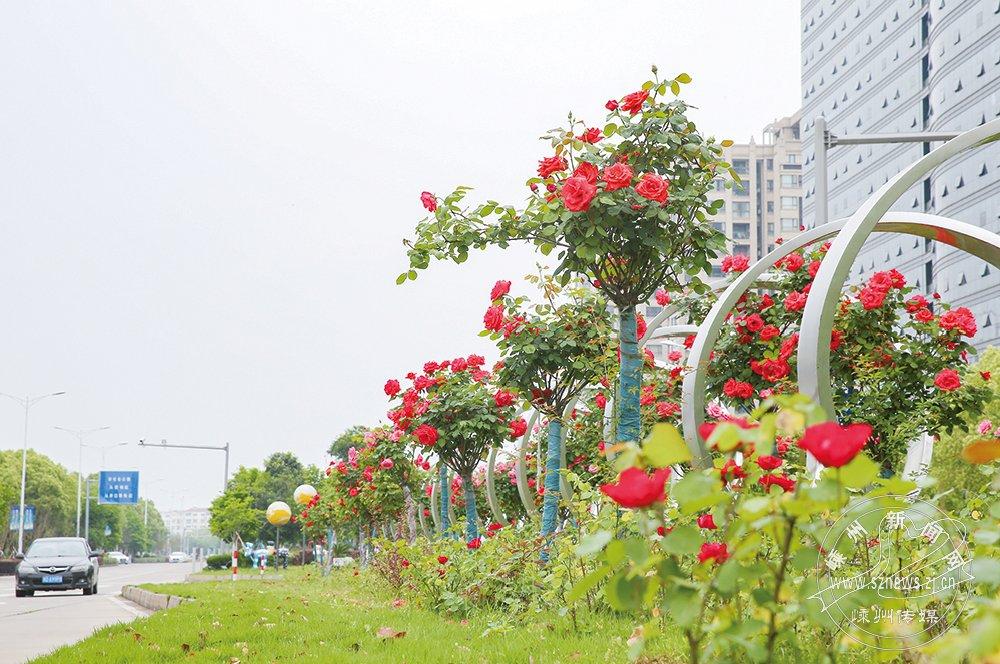 月季花开红艳艳