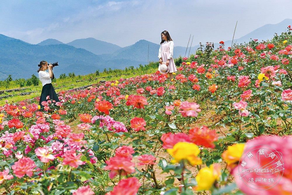 月季花开春满园【高清】