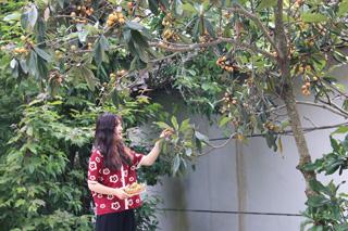枇杷树上枇杷黄