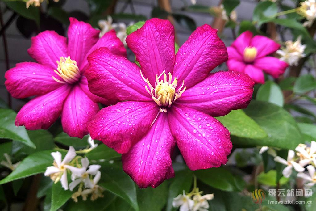 转子莲紫红开