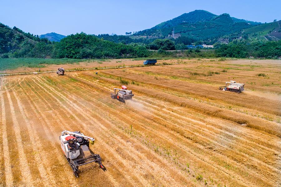 """小麦丰收 废弃矿山变""""金山"""""""