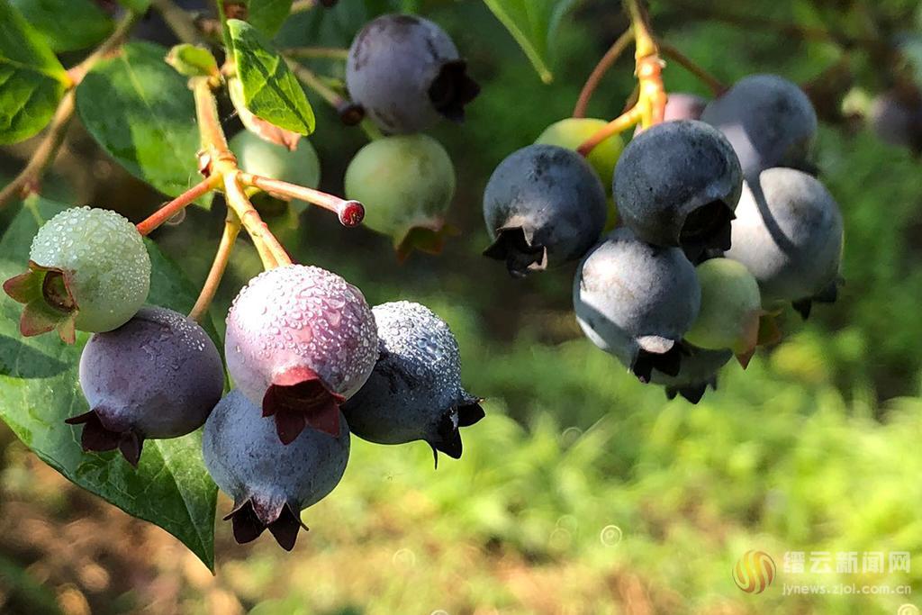 蓝莓采摘啦