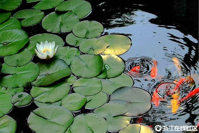 【行行摄摄】鱼戏莲叶