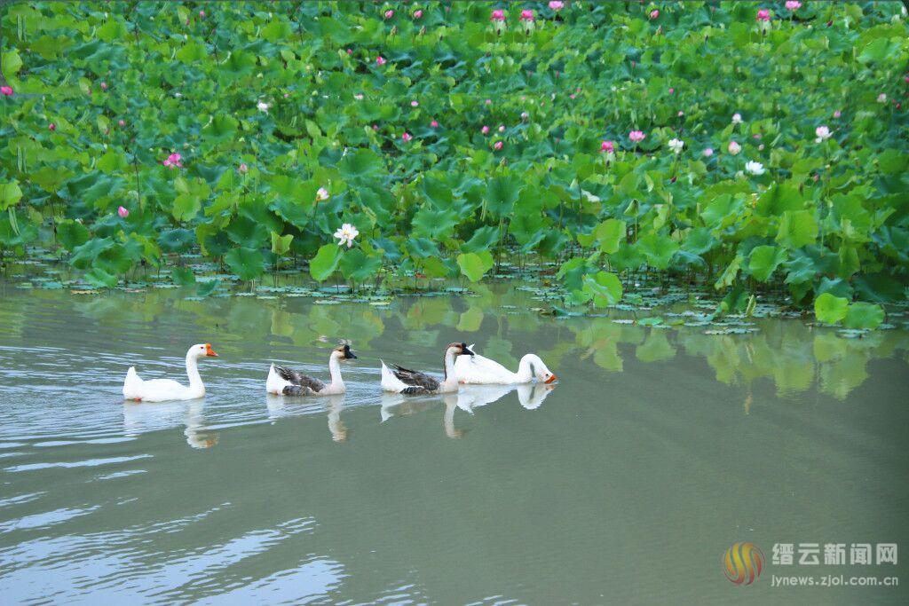 水清花香鹅欢游