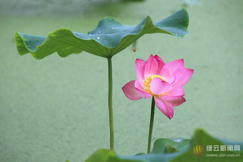 绿叶护红花