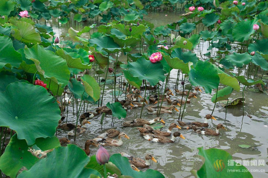 荷塘鸭欢歌