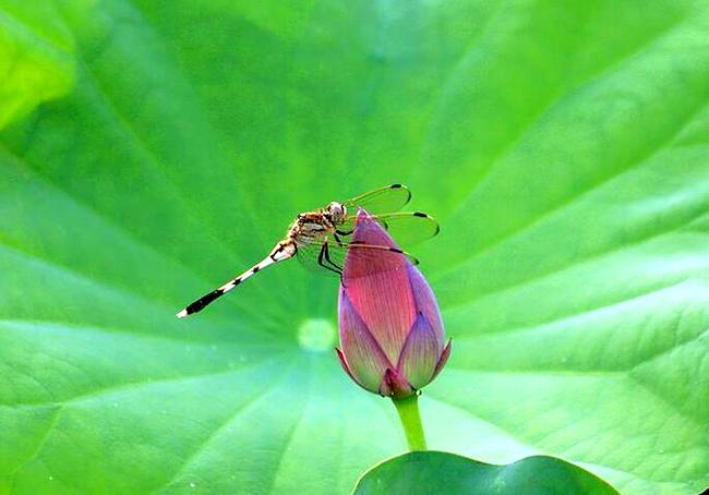 """【行行摄摄】蜻蜓""""戏荷"""""""