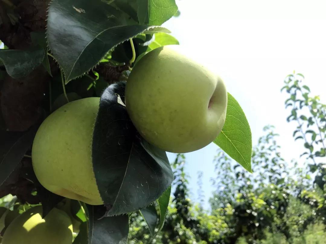 """【采摘指南】这个季节就吃""""苹果梨"""""""