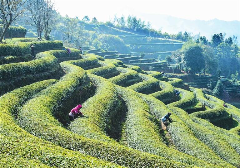 茶工在茶园里采摘新茶