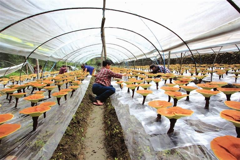 灵芝农户收入水涨船高