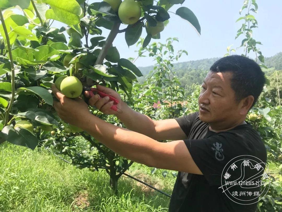 百亩苹果梨上市