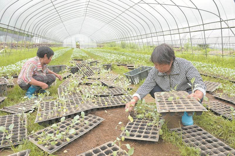 高山蔬菜育苗忙