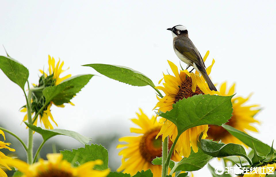 【行行摄摄】向日葵上白头鹎