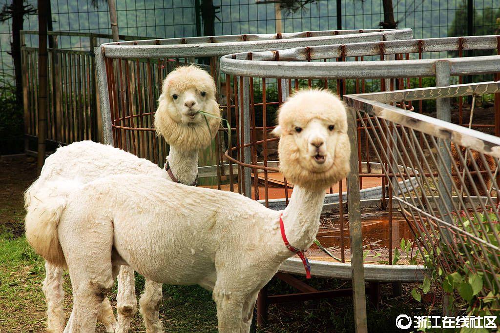 【行行摄摄】西白山的萌萌――羊驼