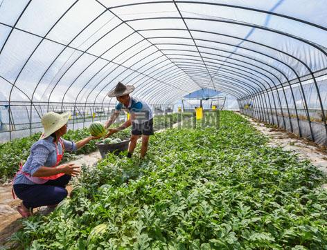 西瓜成熟和上市的黄金期 果农精挑细选采摘成熟西瓜