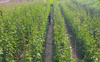 蔬菜种植大户忙采摘