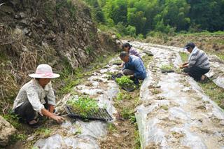 藜麦栽培忙