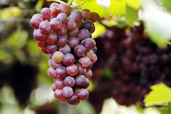 葡萄熟透了