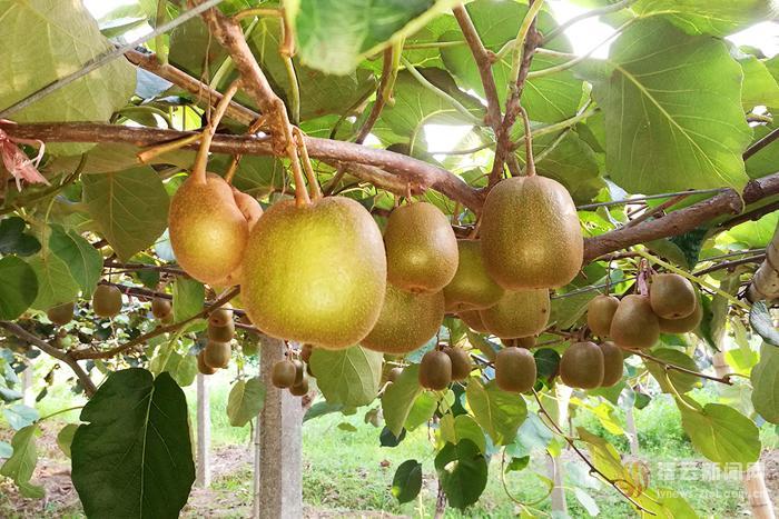 猕猴桃成熟了