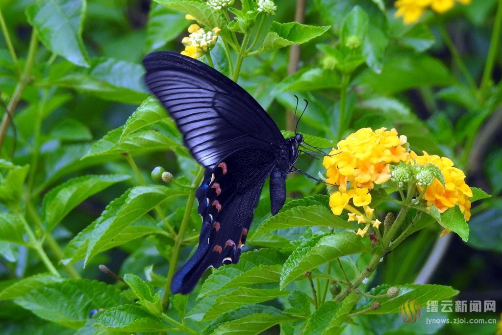 美丽黑蝴蝶
