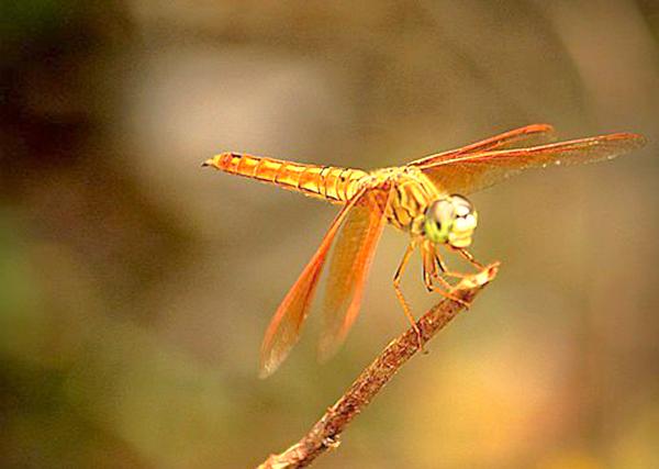 【行行摄摄】红蜻蜓