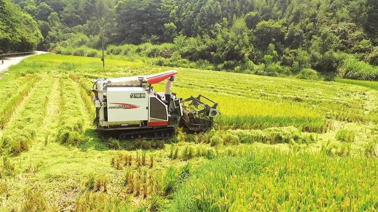 """兰巨乡梅垟村""""一种两收""""再生稻的头季丰收"""