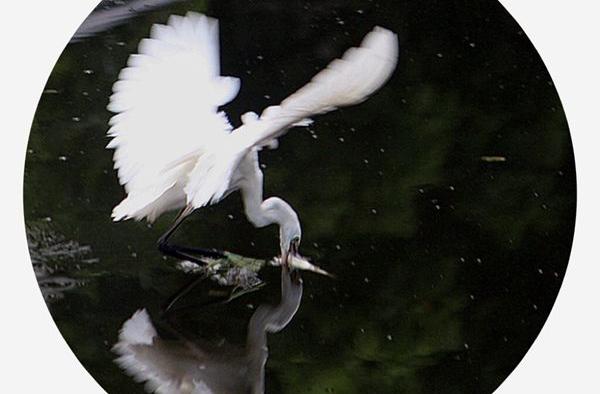 【行行摄摄】白鹭觅食
