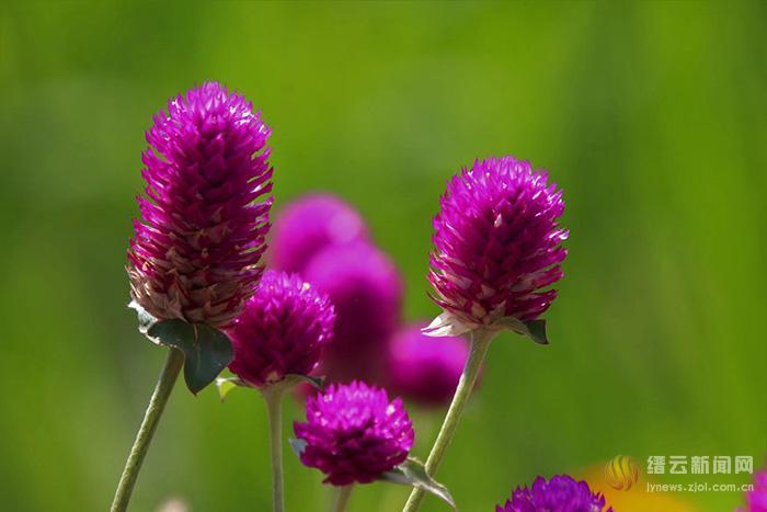 洒紫芬芳千日红