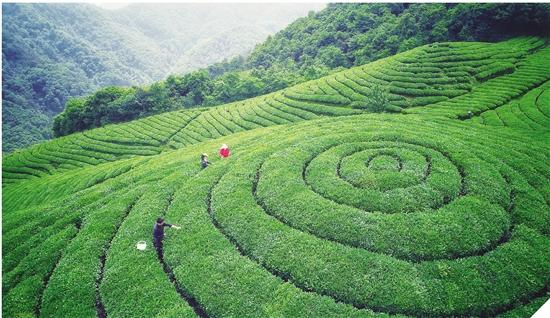 小茶叶里走出致富路
