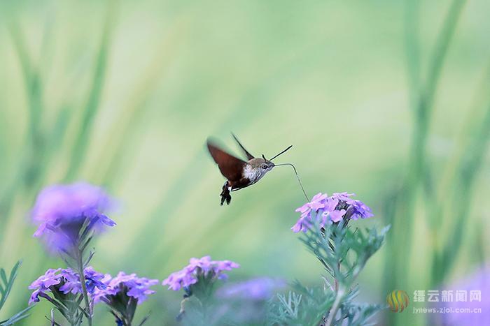蜂鸟鹰蛾现身草甸园