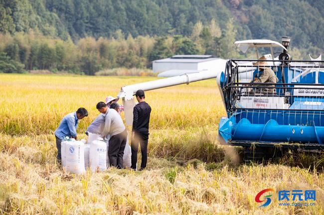 水稻全面收割