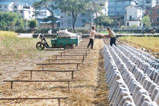 菇农抢收水稻