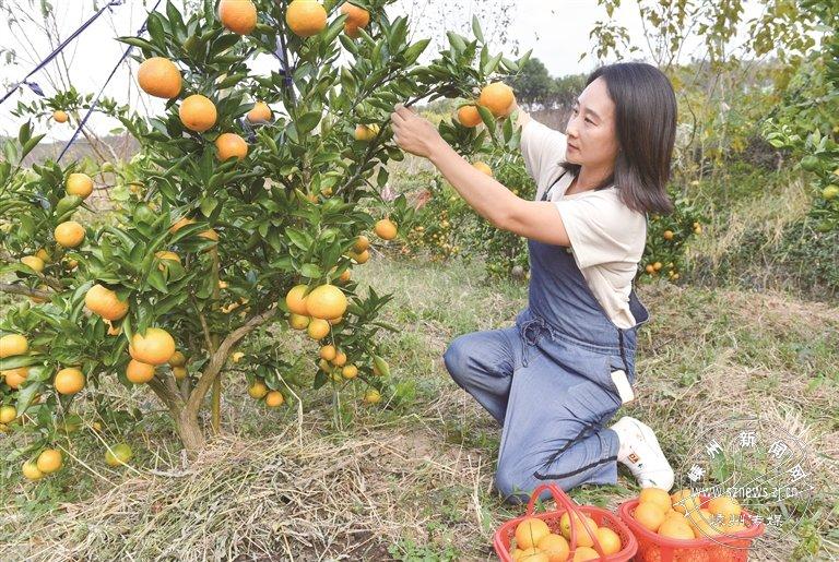 高糖高酸!新品种柑橘来了