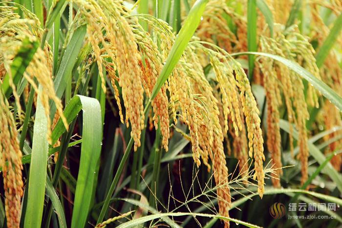 千亩稻田 十里飘香