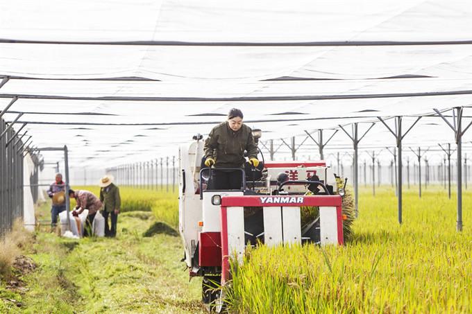 长兴:蚊帐水稻低产价高