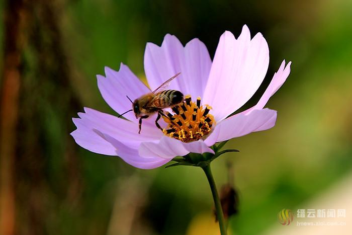 秋英绽放蜜蜂欢