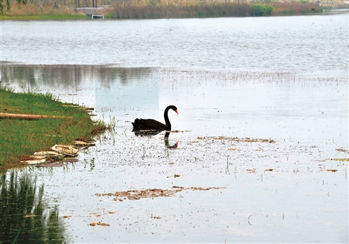 秀湖飞来一只黑天鹅