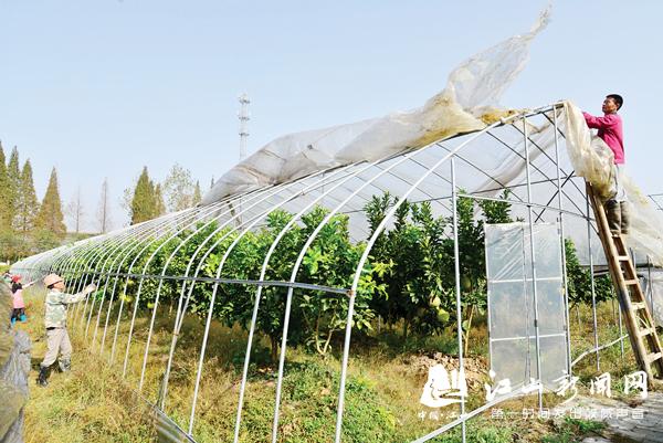 蜜柚成熟 果农增收