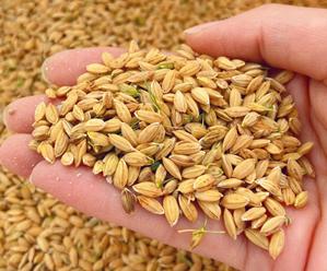 盐碱地水稻开始收割