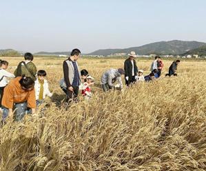 体验水稻收割 感受农耕文化