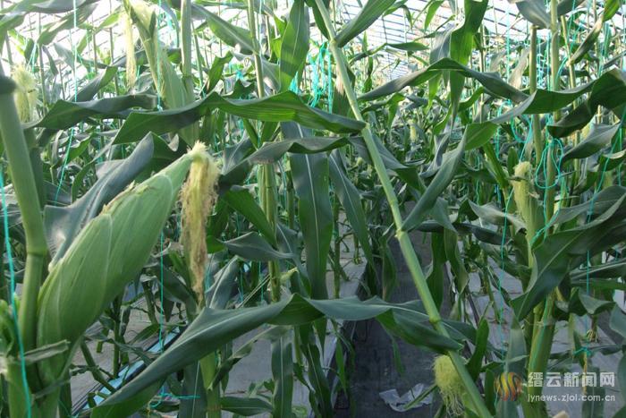 汽雾种植玉米、番茄获成功