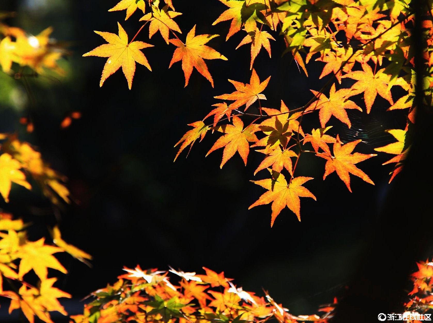 【行行摄摄】秋叶如花