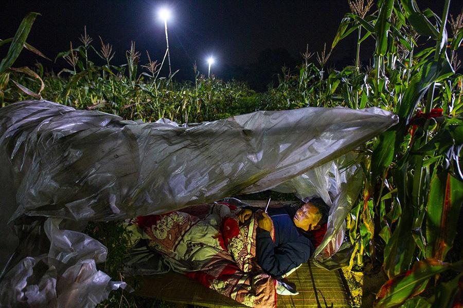 玉米地里的守夜人