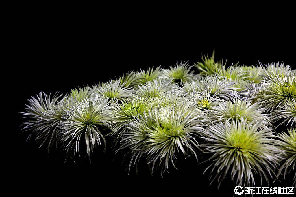 【行行摄摄】赏菊