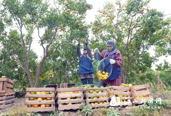 柑橘挂满枝